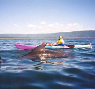 Kayaking with whales in St. Margaret's Bay