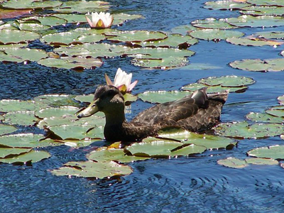 Duck swimming through the water lilies