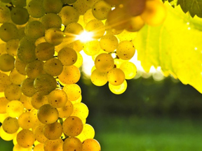Learn about our unique grape varieties