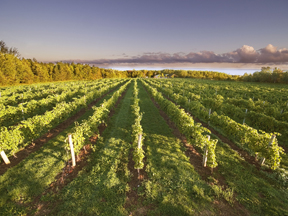 Rows upon rows of breathtaking vines