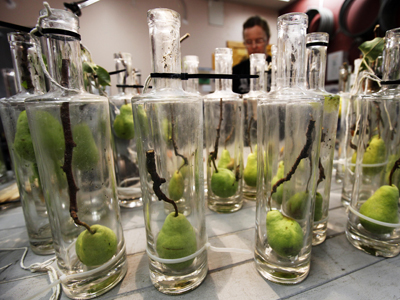 Pear eau-de-vie in the making