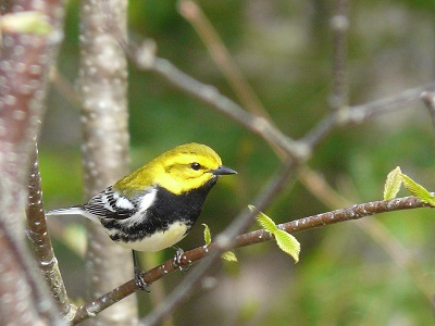 Warblers are the stars of our spring birding tours.